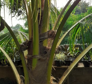 Hybrid Coconut-Trees