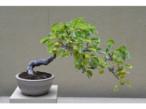 Bonsai Pear Tree