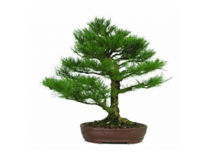 Casuarina Bonsai Tree