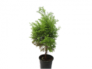 Golden Juniperus ChristmasTree