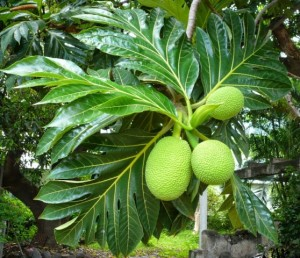 Artocarpus communis / karipala-or-kari-chakka / Bread-fruit